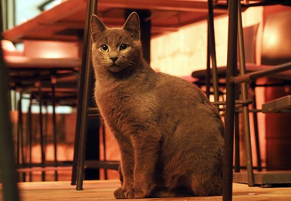 画像: ことさらに可愛いロシアンブルーのプリンセス。