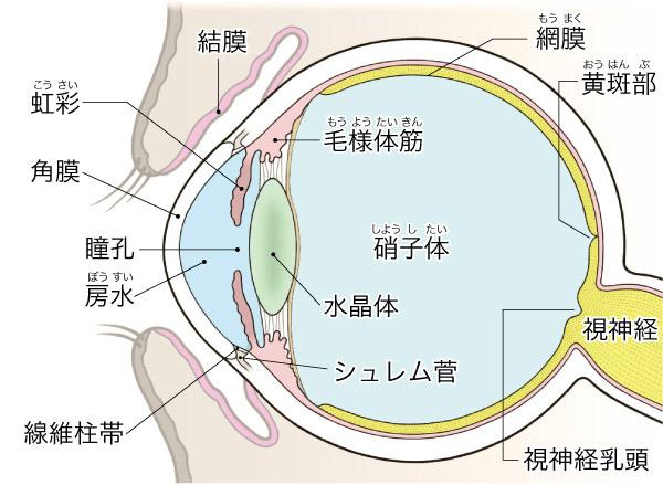 画像: 目の構造