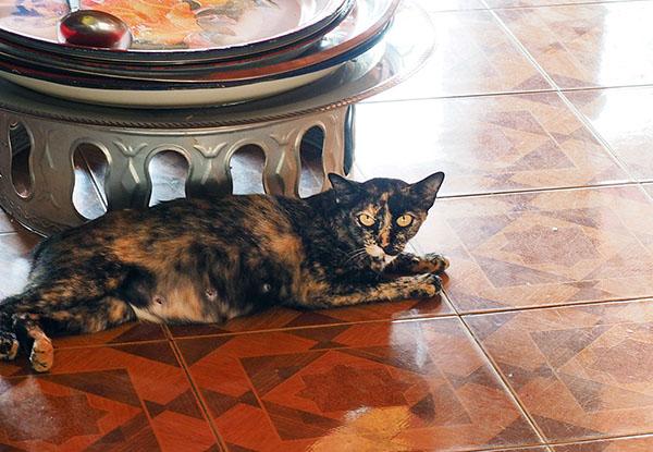 画像: 広間の床で寝そべるサビ猫。