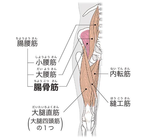 画像: 腸骨筋と周辺の筋肉