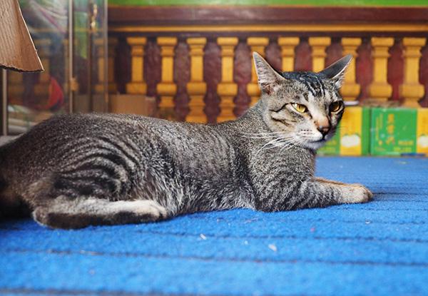 画像: 全身黒々とした縞模様の寺院猫です。