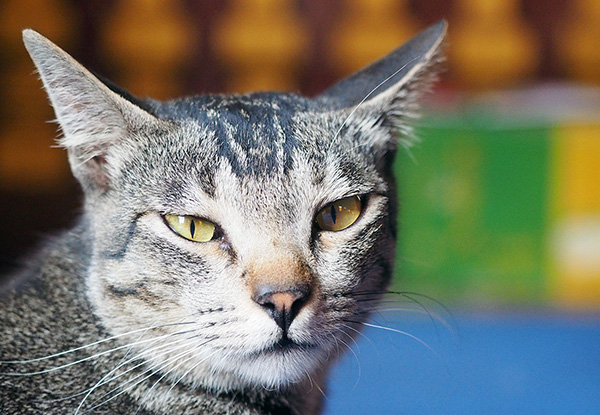 画像: こちらは若そうなキジ猫。