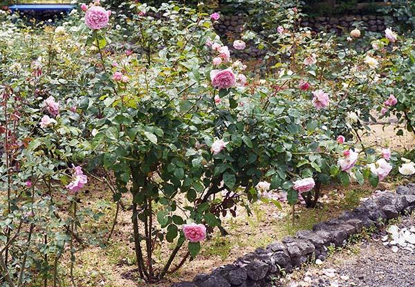 画像: バラは冬以外であれば一年中楽しめる。