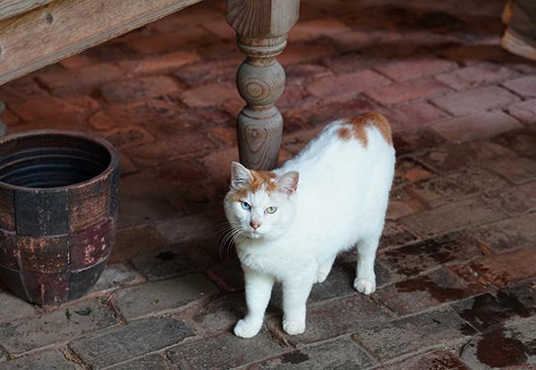 画像: 納屋で出会った「リリー」ちゃん。オッドアイとボブテイルの人気者。