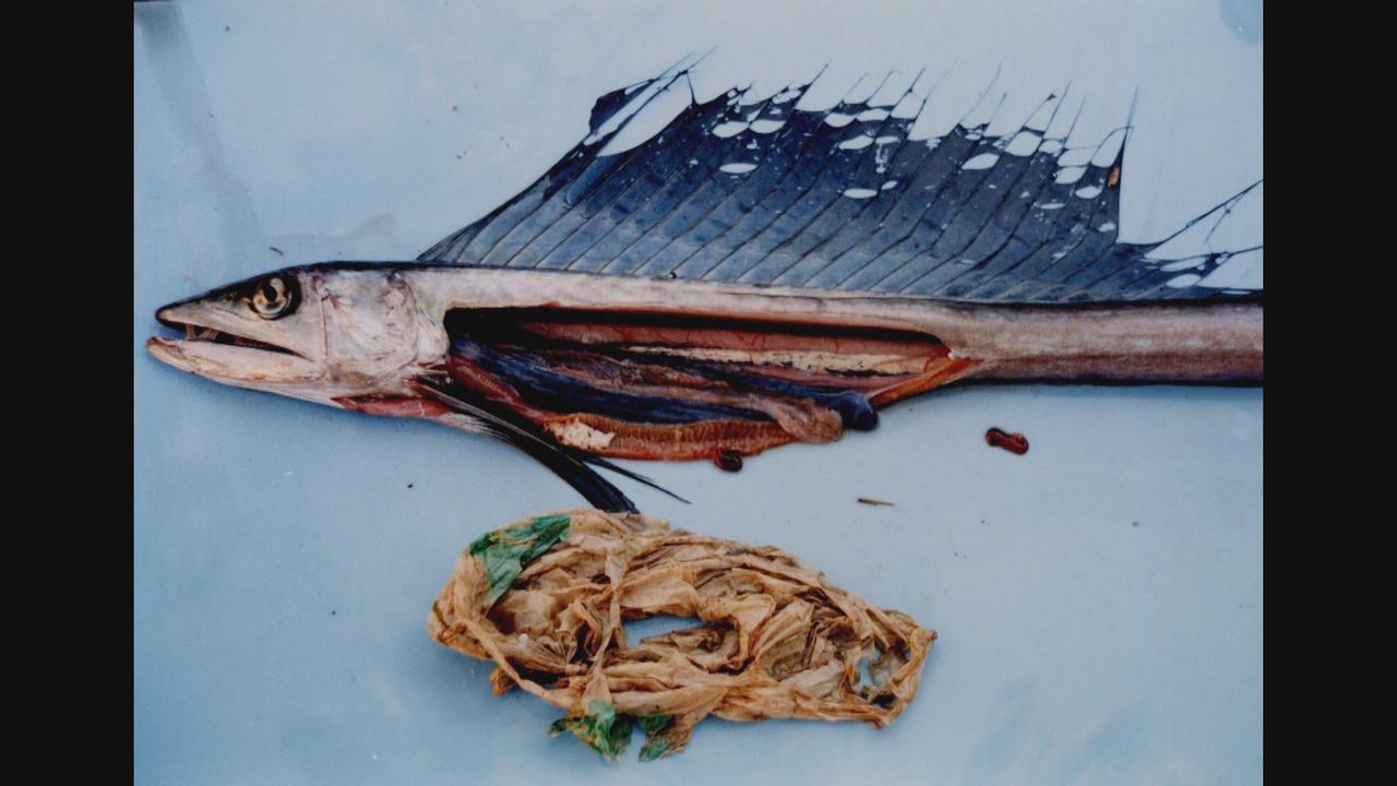 画像1: 深海魚の体内から異物が… プラスチックごみで汚染される海 レジ袋有料化の背景(1) 静岡県