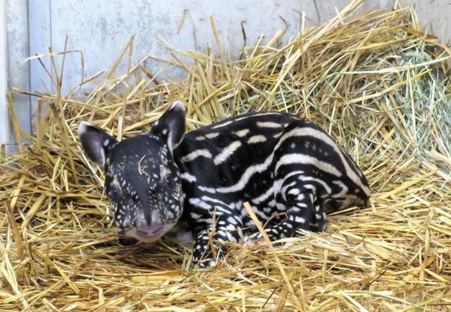 画像: マレーバク赤ちゃん 提供:日本平動物園