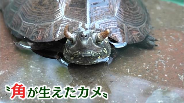 画像: 「iZooイズー」にガメラ!? 角が生えたカメ 静岡・河津町