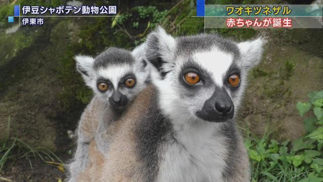 画像: 伊豆シャボテン公園で来場者の人気を集めているワオキツネザルの赤ちゃん(左)