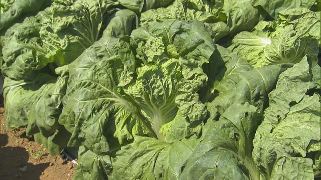 画像: 暑さに強いミニ白菜が…