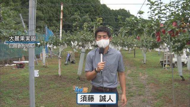 画像: 台風10号に備え、高級梨を栽培の農家は落下対策…1個1500円「来たら商売あがったり」 静岡・掛川市