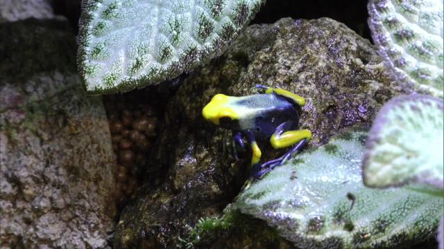 画像: 沼津市のあわしまマリンパークで展示されているアイゾメヤドクガエル