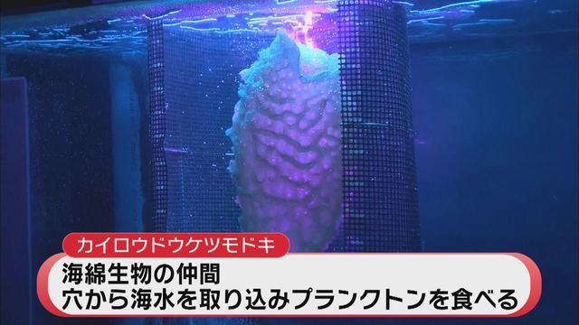 画像: 焼津市の深層水ミュージアムに寄贈され、展示中のカイロウドウケツモドキ