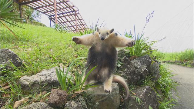画像2: アリクイ3兄弟が人気 1分間に100回以上も舌を出し入れ 静岡・伊東市 伊豆シャボテン動物公園