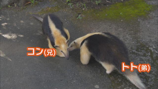 画像1: アリクイ3兄弟が人気 1分間に100回以上も舌を出し入れ 静岡・伊東市 伊豆シャボテン動物公園