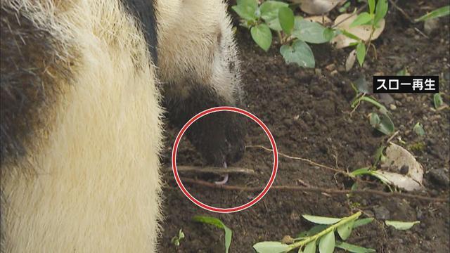 画像3: アリクイ3兄弟が人気 1分間に100回以上も舌を出し入れ 静岡・伊東市 伊豆シャボテン動物公園