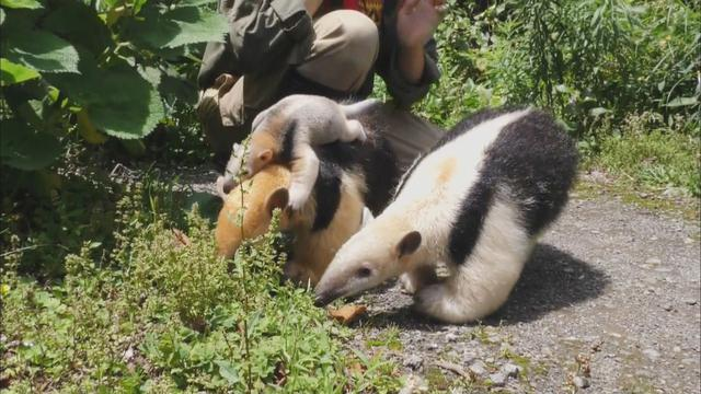 画像4: アリクイ3兄弟が人気 1分間に100回以上も舌を出し入れ 静岡・伊東市 伊豆シャボテン動物公園