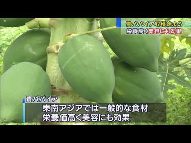 画像: 熟さない青いパパイアの収穫始まる 栄養価も高く注目の食材 静岡・松崎町 youtu.be