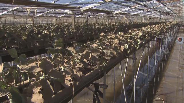 画像: 【台風14号】去年はビニールハウスが泥水で埋まった イチゴ農家は… 静岡・伊豆の国市
