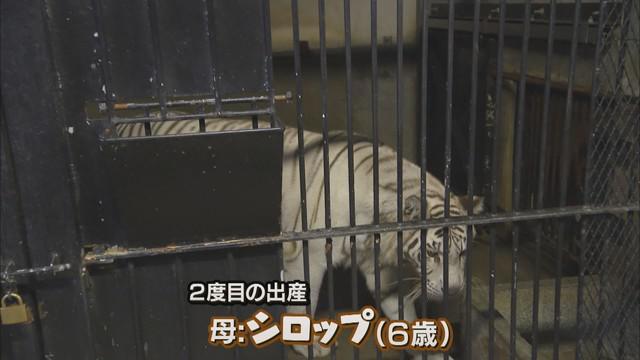 画像3: 三つ子のホワイトタイガー わずか5日で体重は1.5倍 静岡・東伊豆町