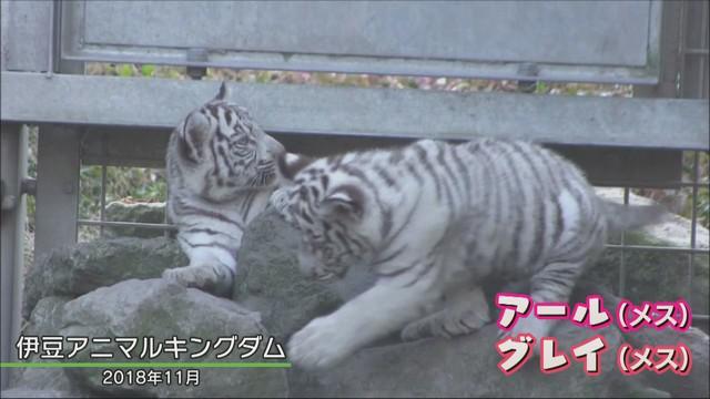 画像4: 三つ子のホワイトタイガー わずか5日で体重は1.5倍 静岡・東伊豆町