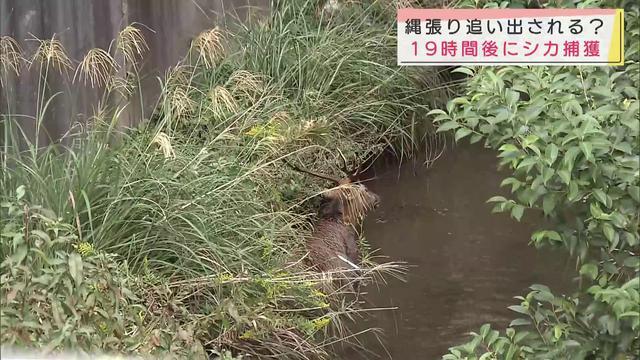 画像: 住宅街にシカ、19時間後に放水路に逃げ込み捕獲 静岡市 youtu.be