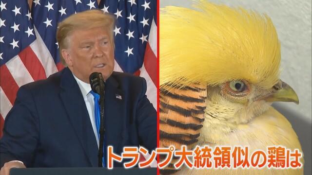 画像: トランプ大統領に瓜二つ!? 落とし物の「金鶏」飼い主に戻る 浜松市