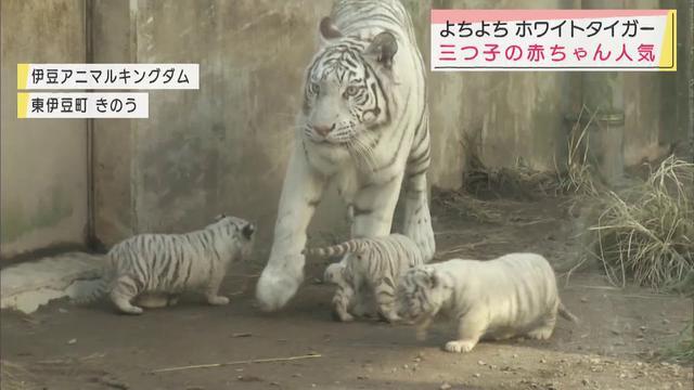 画像: 生まれて1カ月、体重は5倍に 3つ子のホワイトタイガー一般公開 静岡・東伊豆町 youtu.be