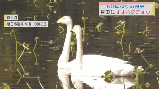 画像: 磐田市の鶴ヶ池に60年ぶりにオオハクチョウ youtu.be