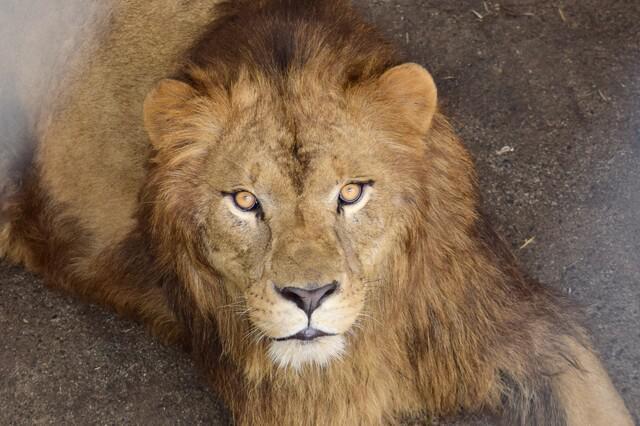 画像: オスライオンの「ギル」 提供 日本平動物園