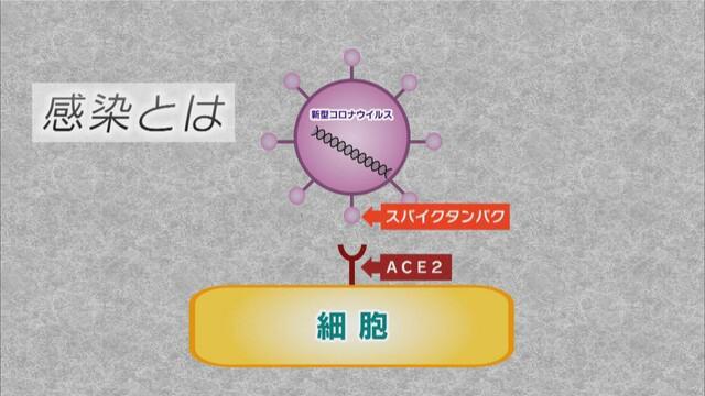 画像: スパイクタンパクが細胞の表面のACE2に結合して感染する