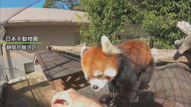 画像: レッサーパンダ「まるこ」が名古屋市の東山動物園にお嫁入り 静岡市・日本平動物園の人気者