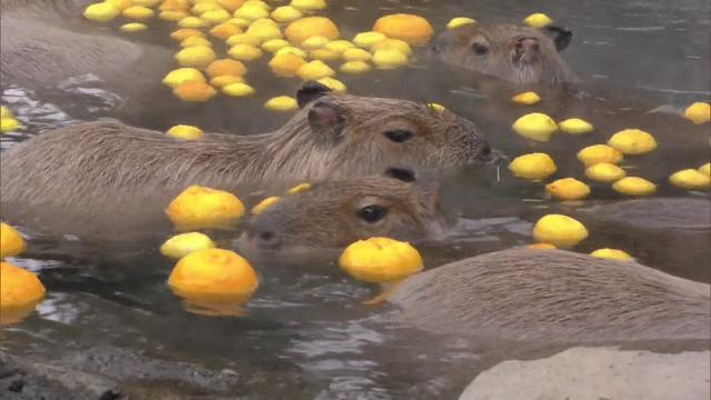 画像: あすは冬至 ゆず湯を楽しむカピバラ 伊東市伊豆シャボテン動物公園 youtu.be