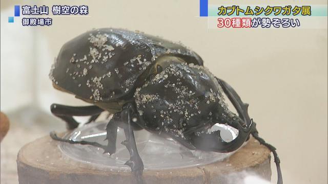 画像: 冬なのに?!世界の珍しいカブトムシとクワガタを展示 youtu.be