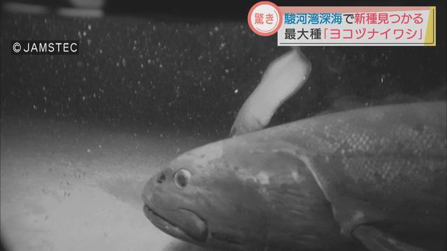 画像: 新種の深海魚「ヨコヅナイワシ」の撮影に成功 駿河湾