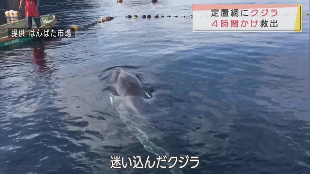 画像: 定置網にクジラが迷い込む 網を切っても出て行かず、4時間の救助活動 静岡・西伊豆町 youtu.be