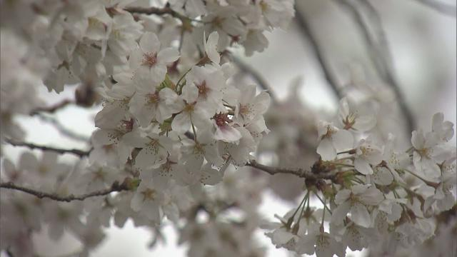 画像: 桜が満開 静岡地方気象台発表 youtu.be