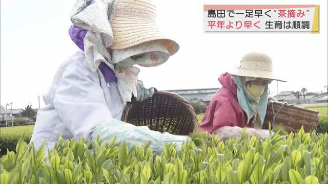 画像: 一足早く新茶のお茶摘み 新芽は緑色が濃く伸びが早い 静岡・島田市 youtu.be