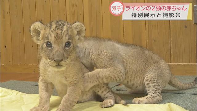 画像: 「3カ月後には歯もしっかり生える」…双子のライオンの赤ちゃん、特別展示は4月11日まで 静岡・裾野市 富士サファリパーク youtu.be