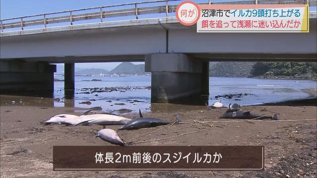 画像: 静岡・沼津市の河口に9頭のイルカ 水族館職員「イワシなど追いかけて浅瀬に入ったのでは…」