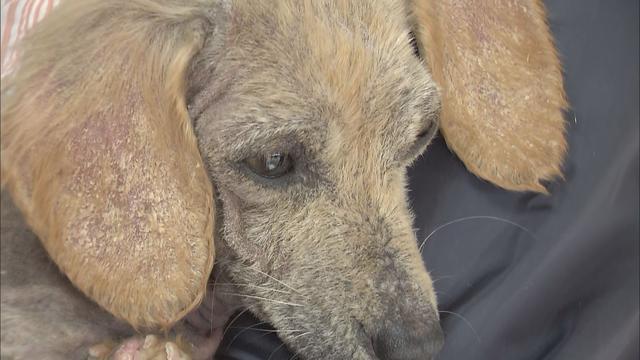 画像: 多くの犬を飼育して逮捕された女 3年ほど前から保健所の指導を拒否 静岡・富士市