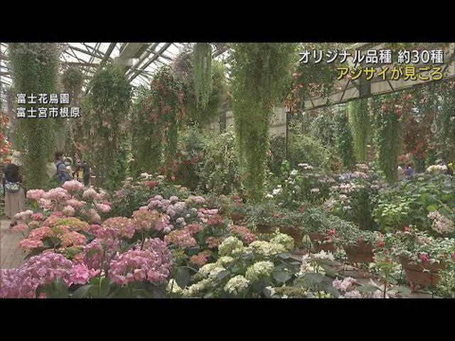画像: 30種類のアジサイが見頃を迎える 静岡・富士宮市 youtu.be
