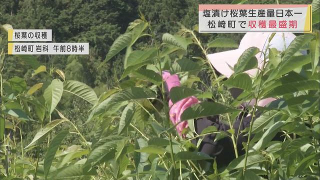 画像: 桜の葉の収穫最盛期 「まるけ子」さんが50枚の束に…塩漬け桜葉の生産量日本一の静岡・松崎町