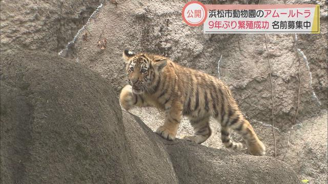 画像: 9年ぶり繁殖に成功したアムールトラの子ども一般公開 体長60センチほどに成長した4頭、名前は「募集中」 浜松市動物園 youtu.be