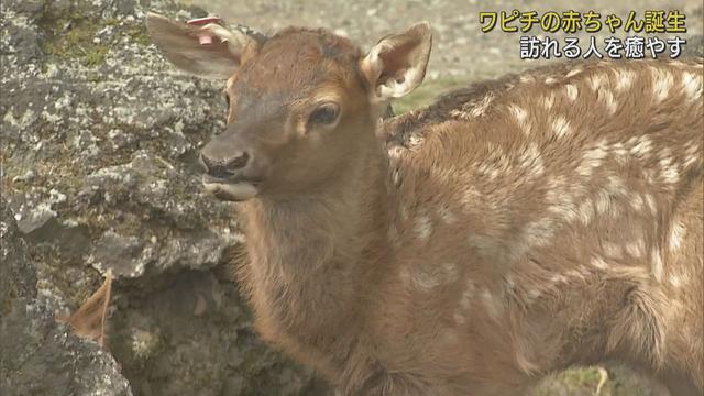 画像: 9頭の「ワピチ」の赤ちゃんすくすくと…鹿の仲間で白の斑点模様が特徴 静岡・裾野市 富士サファリパーク