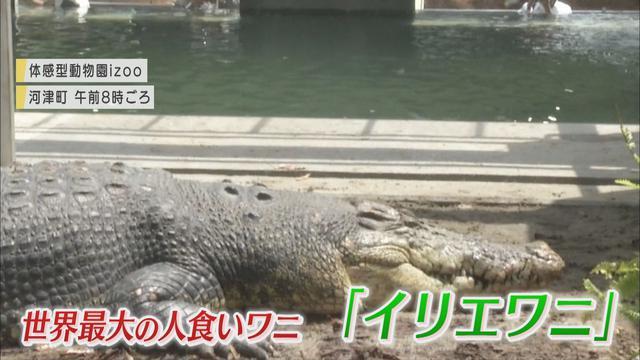 画像1: 体長5m超、重さ800Kg…世界最大の「人食いワニ」が来た! 目標は巨大ワニの繁殖 静岡・河津町の体感型動物園「iZoo」