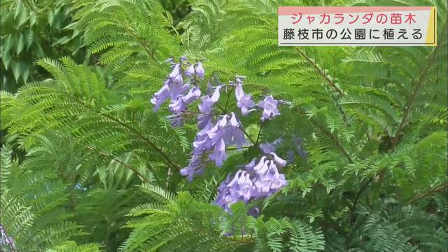 画像: 世界三大花木ジャカランダを植栽 2階建ての家の高さまで成長 静岡・藤枝市