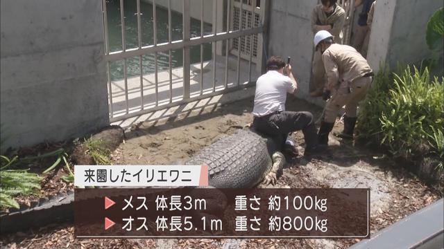 画像2: 体長5m超、重さ800Kg…世界最大の「人食いワニ」が来た! 目標は巨大ワニの繁殖 静岡・河津町の体感型動物園「iZoo」