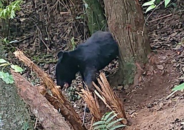 画像: 捕獲されたクマ(提供:西伊豆町)