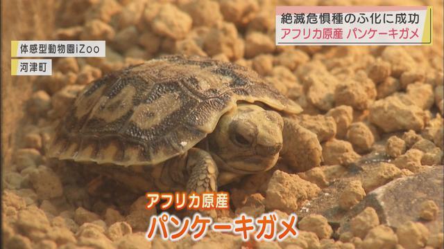 画像: パンケーキガメのふ化に成功 静岡・河津町「イズー」