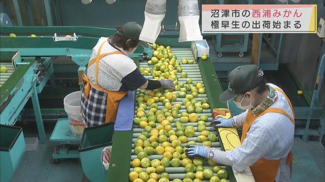 画像: 「みずみずしくさわやかですっきりとした味わい」極早生ミカンの出荷始まる 静岡・沼津市